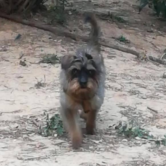 Perro perdido TECKEL en Godelleta (Valencia)