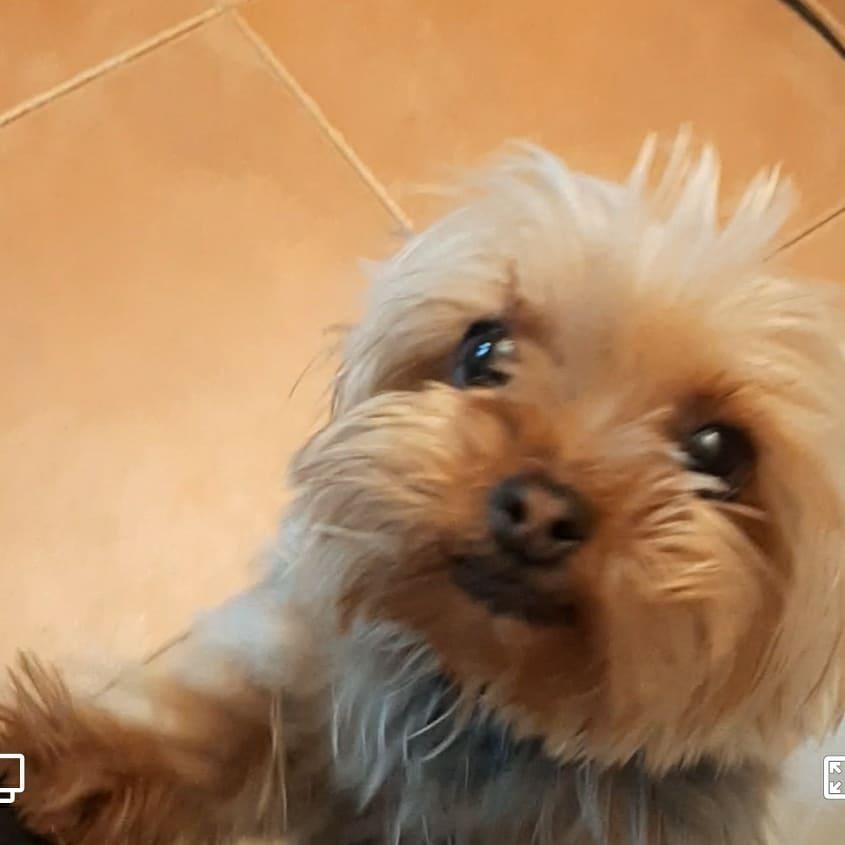 Perro perdido YORKSHIRE TERRIER en Fuenlabrada (Madrid)