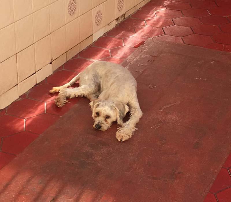 Perro perdido CANICHE en Beniajan columbares  (Murcia)