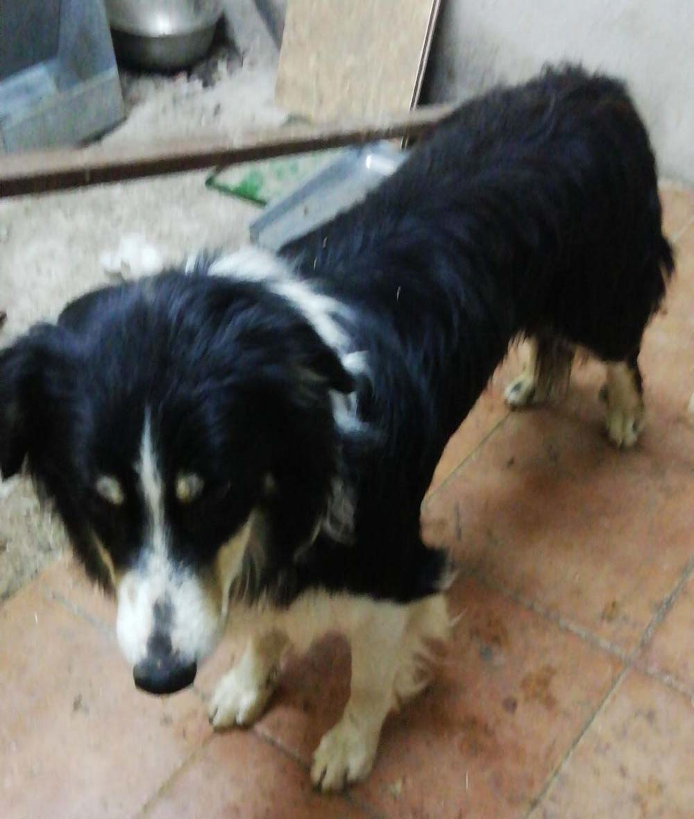 Perro encontrado PERRO PASTOR AUSTRALIANO en Arcas  (Cuenca)