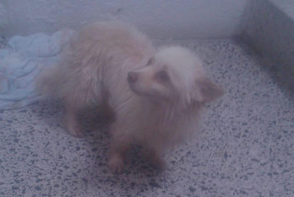 Perro perdido MESTIZO - DESCONOZCO LA RAZA en Salceda de caselas (Pontevedra)